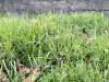 Cover crop in raised beds